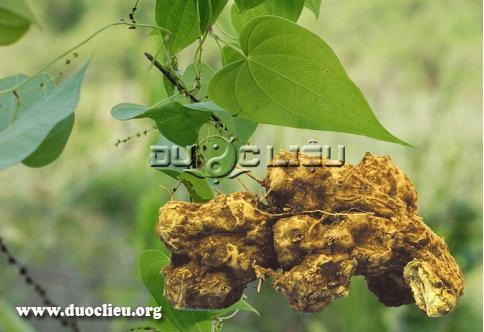 Hình ảnh cây và thân rễ Nần nghệ