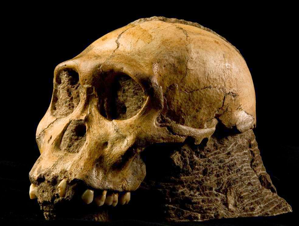 Australopithecus sediba skull found in the remnants of an underground cave network in South Africa.