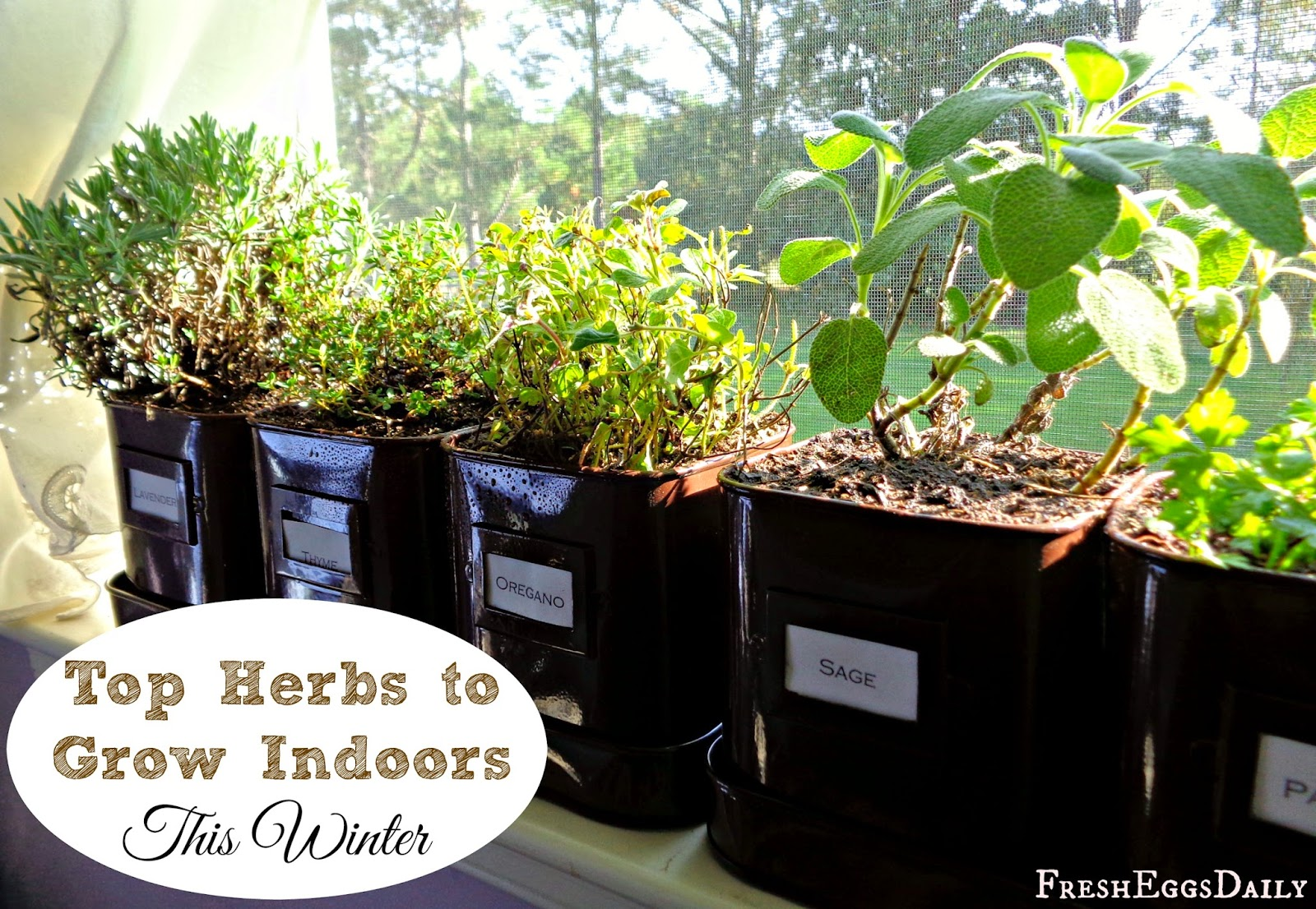 grow herbs indoors this winter my top choices fresh eggs daily