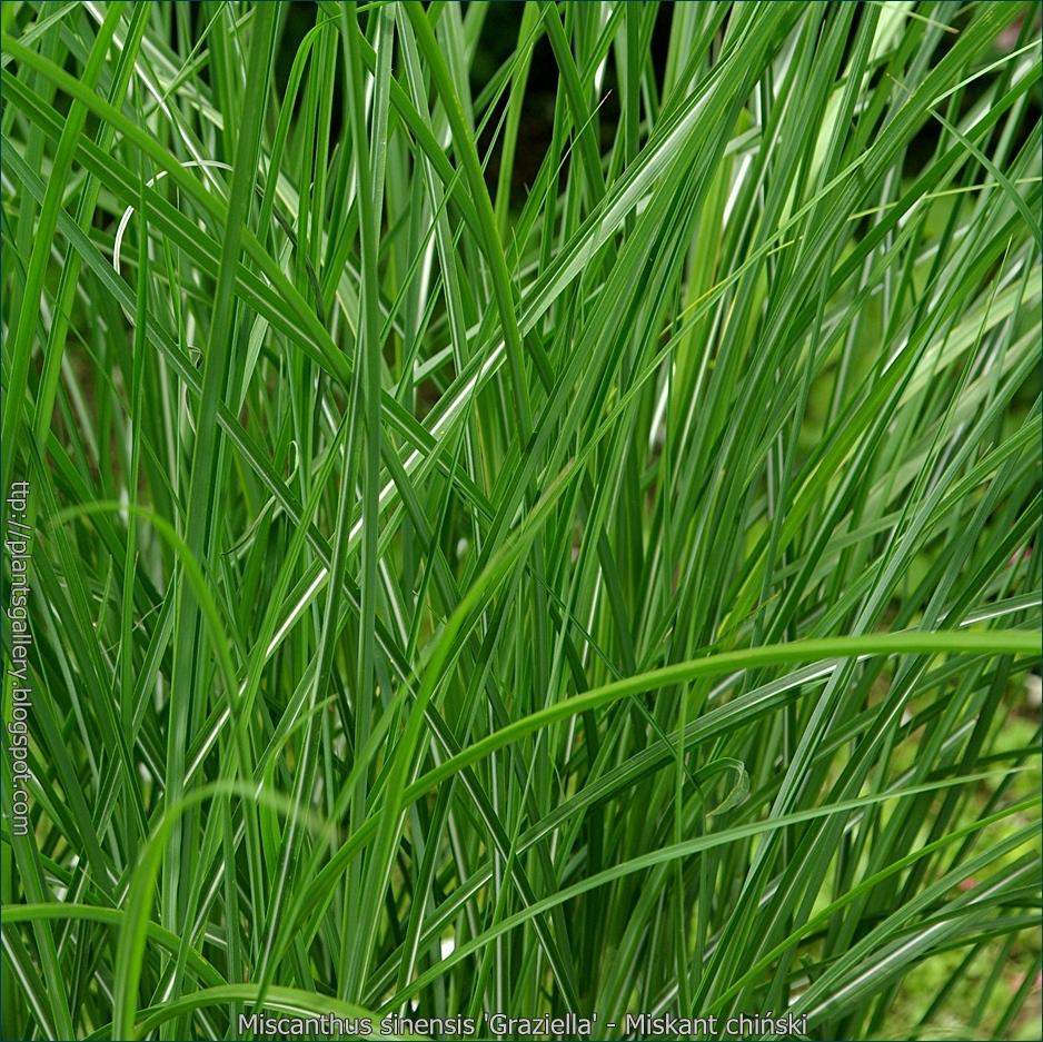 Miscanthus sinensis 'Graziella' - Miskant chiński liście