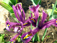Iris reticulata-purple Dwarf Irises