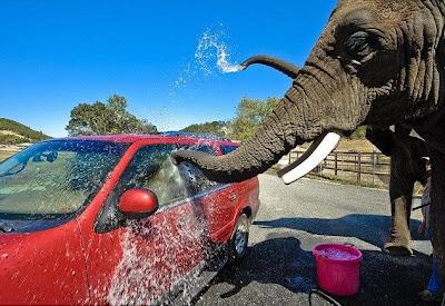 خدمة غسيل السيارات بواسطة الأفيال