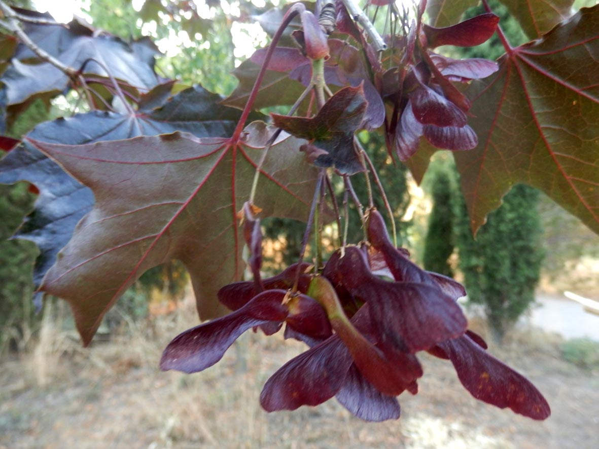 "Auro roig (Acer platanoides ""Crimsom King"")"