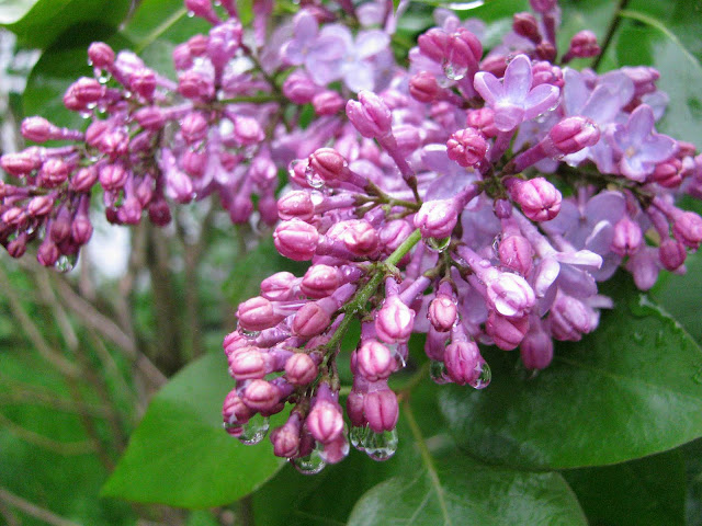 Lilacs-Blooming-in-Rainy-Farmingdale