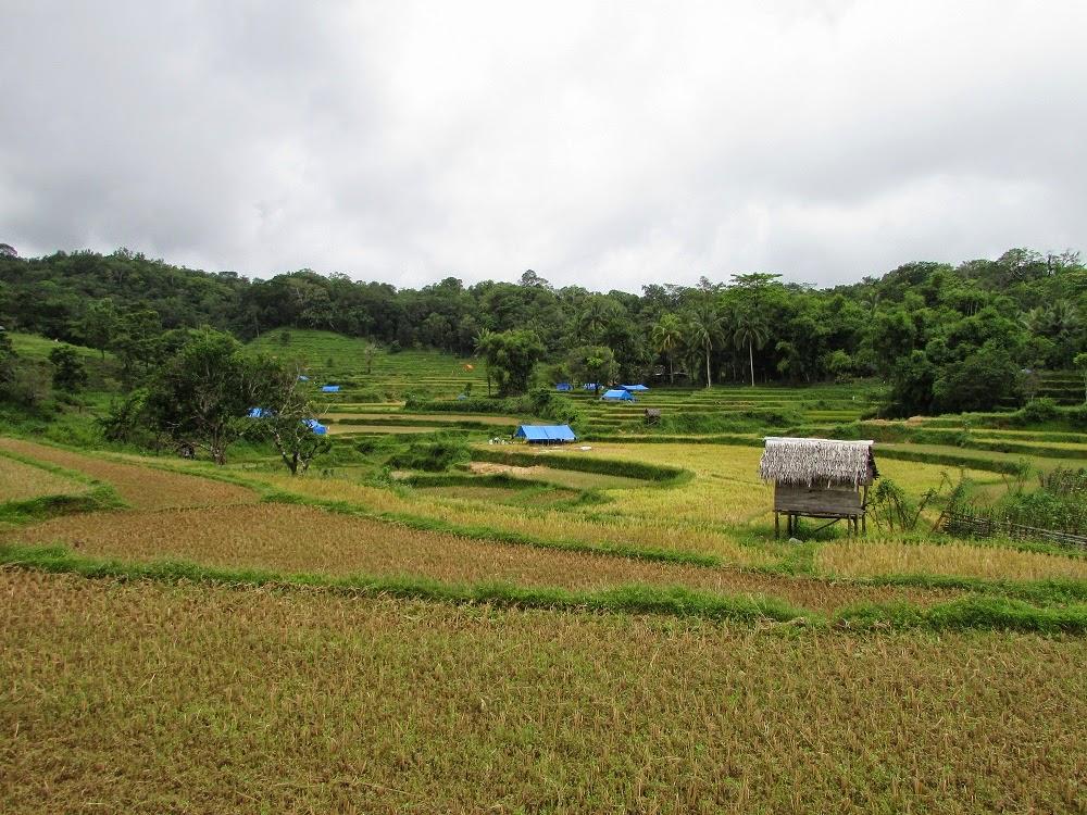 Foto Pak Tani panen padi di sawah