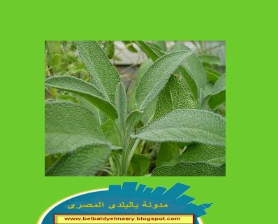 تعرف على نبات المرمريه فوائده وخصائصه العلاجيه