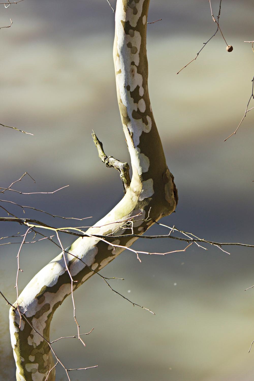 birch branch - photo copyright Allison Beth Cooling