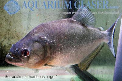 Serrasalmus rhombeus (Ромбовидная пиранья)