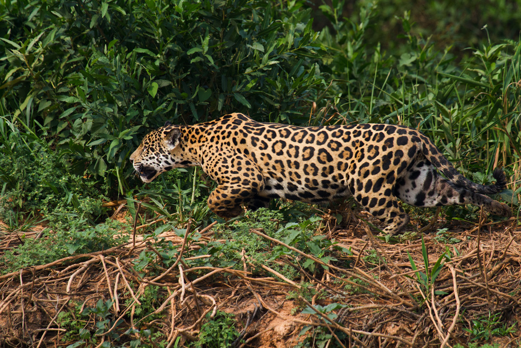 Jaguars eating prey