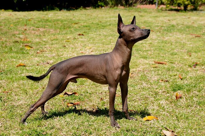 Xoloitzcuintli Sale The dog in world: 6 ne...