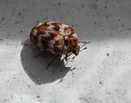 Varied carpet beetle eggs