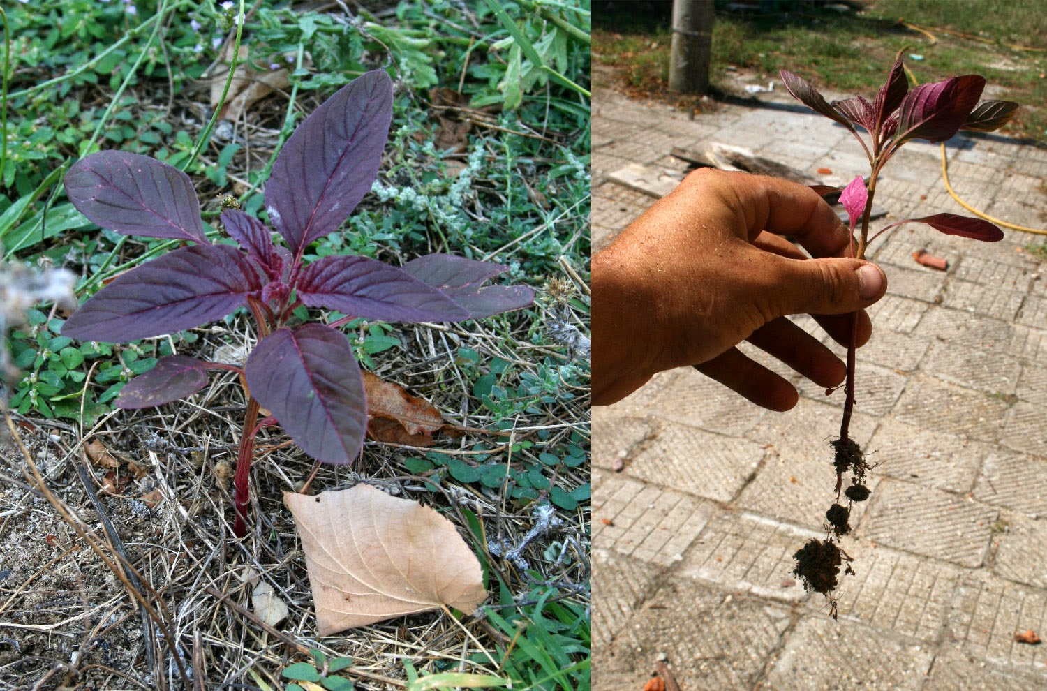 Red Orach for transplanting