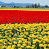Yellow and Red Tulips Flowers photos