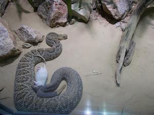 Rattle snake  in Schoenbrunn Zoo.