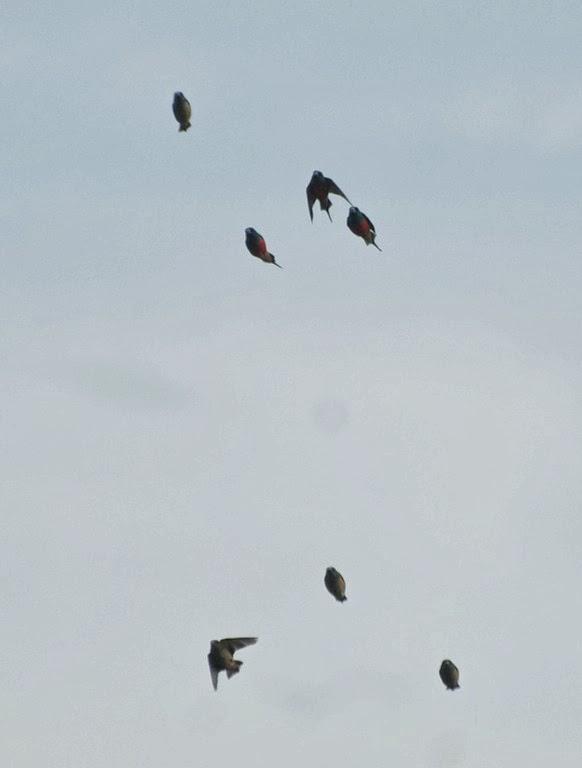 Pin-tailed Parrotfinches (Erythrura prasina)