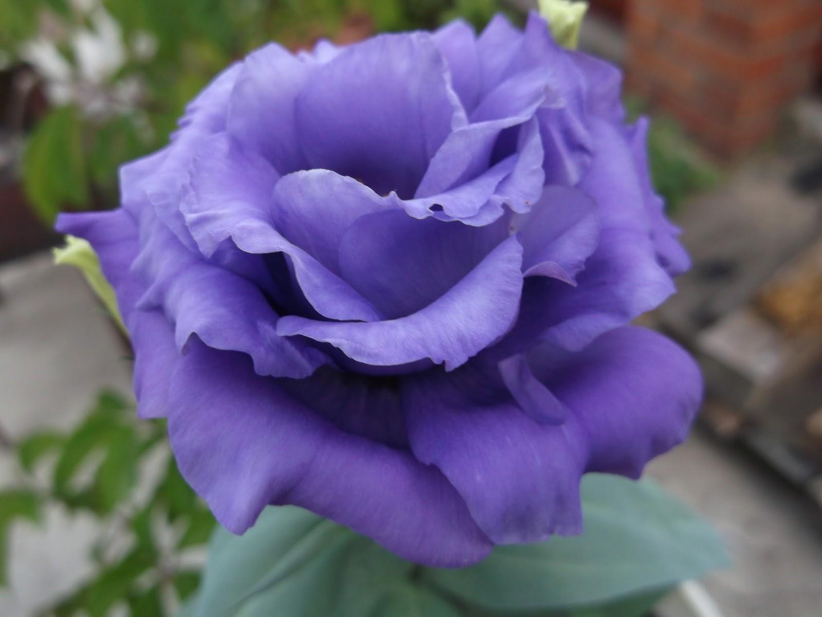 Эустома многолетняя посадка и уход, фото цветов 74
