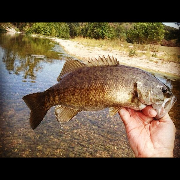 Buggin 39 out smallmouth bass can be indicator of healthy for Smallmouth bass fly fishing