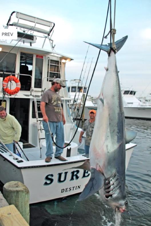 World sharks news florida caught an huge 720 pound mako for Destin shark fishing