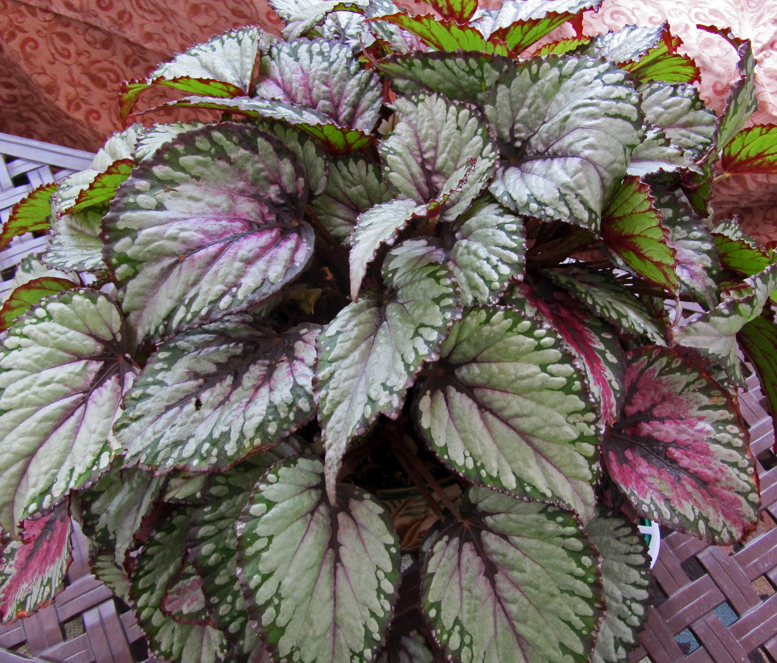 Gatsbys gardens containers that worked for Begonia pianta