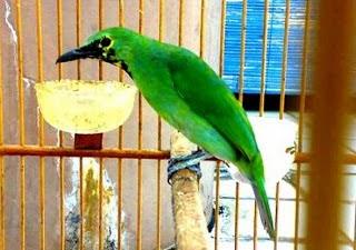 Bisnis Sampingan Ternak Burung Cucak Ijo