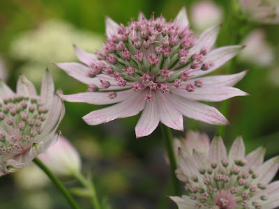 Sjärnflockan Astrantia major