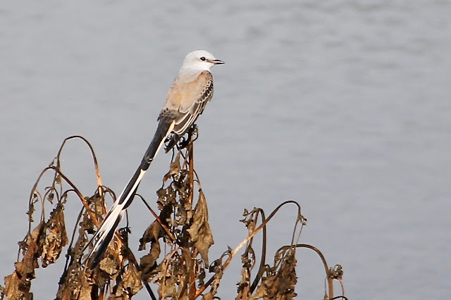 Scissor-tail Flycatcher in Regal Posture