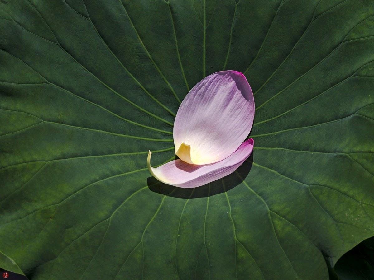 From the garden of zen fallen petals of sacred lotus flower fallen petals of sacred lotus flower tsurugaoka hachimangu izmirmasajfo