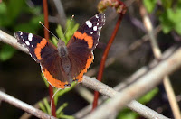 Red admiral with slightly tattered wing