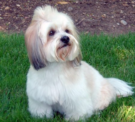 dog breeds list. Toy Dog Breeds List And