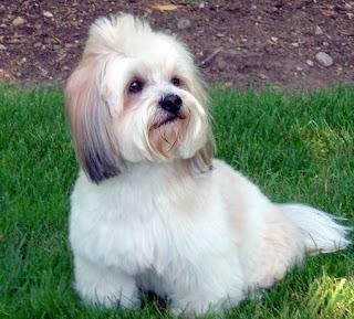 lhasa apso dog puppy breeds hound chien hund perro canine animals domestics maskotak pets Haustiere huisdieren animaux de compagnie husdjur info