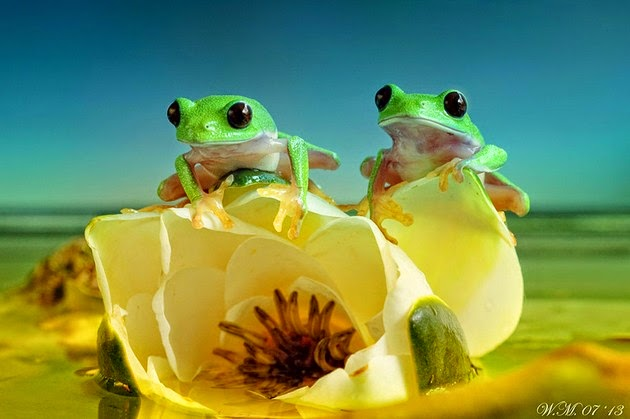 Wil Mijer frog photography-5