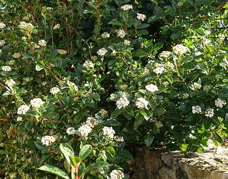 Durillo viburnum tinus un arbusto decorativo durante for Arbustos decorativos jardin