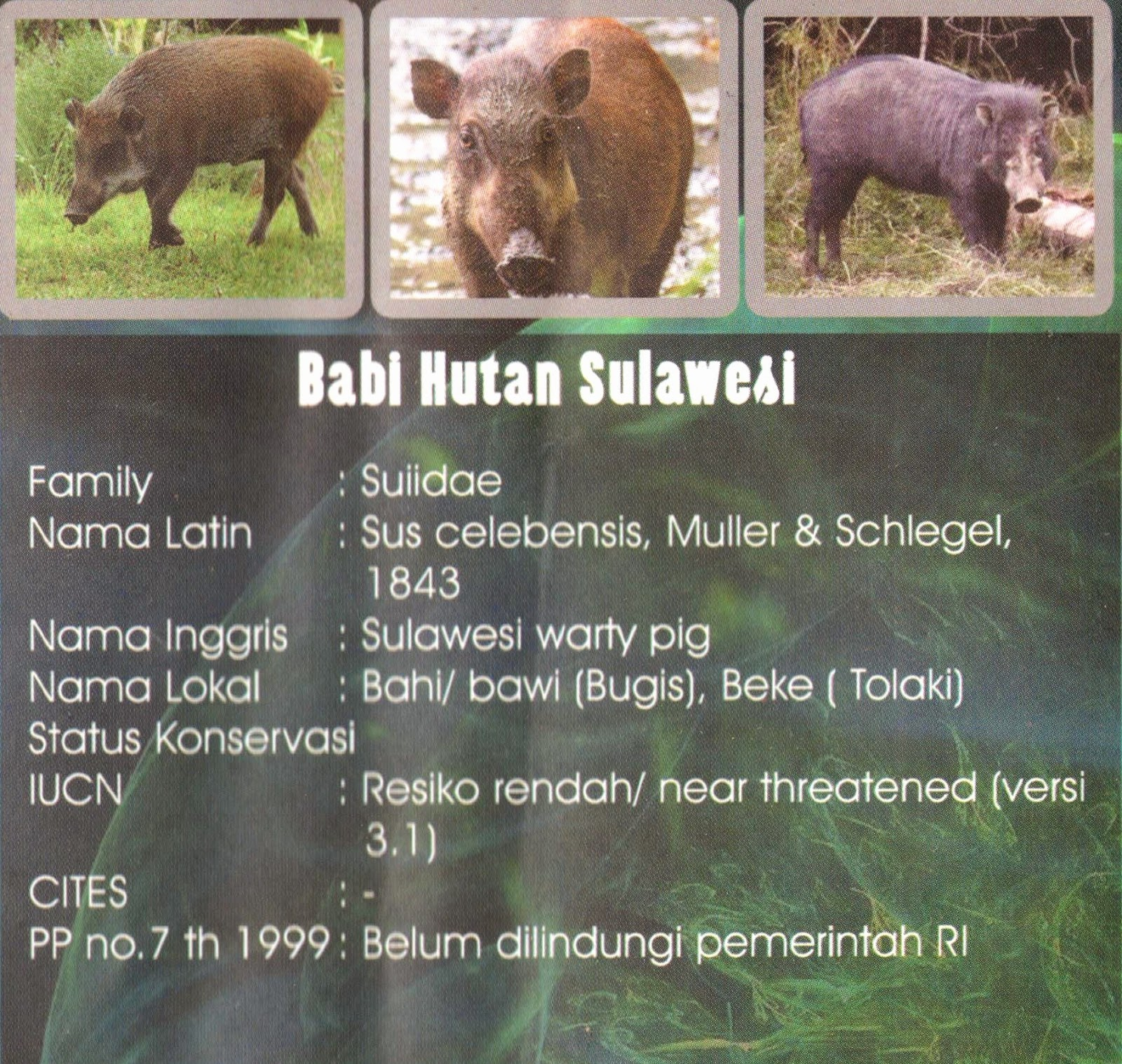 Babi Hutan Sulawesi