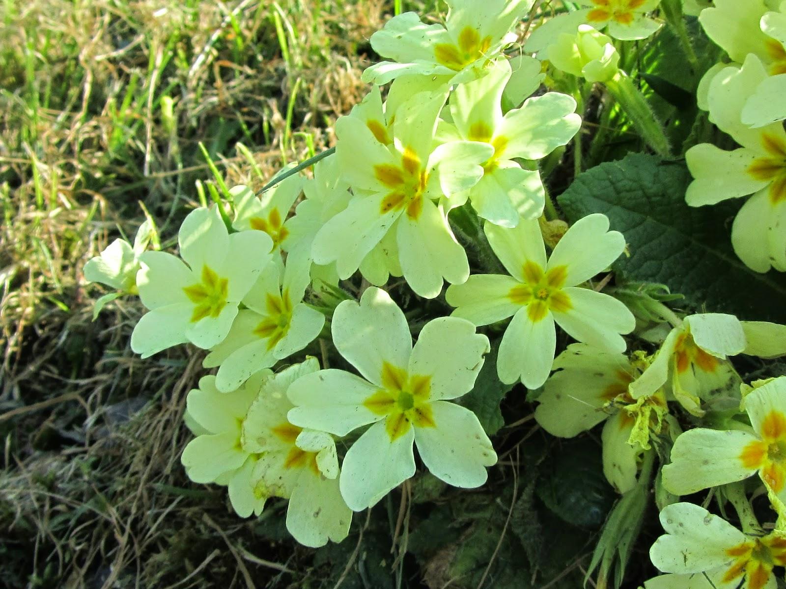 Dove crescono le primule selvatiche primula vulgaris che for Primule immagini
