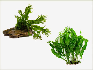 gambar-Microsurum-Pteropus-Windelov-tanaman-fern-pakis-aquascape