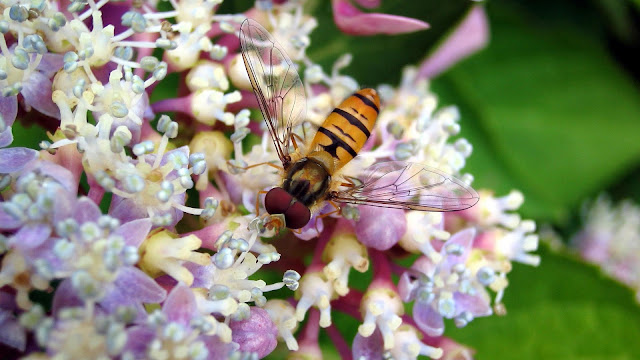 Insect Hoverfly Close up