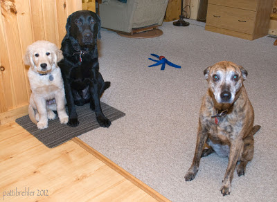 The Golden Retriever puppy sits on a dark matt next to a bigger black Lab. The matt straddles the line between the kitchen laminate floor and the living room carpet. An old brown brindle dog sits to the right of the picture. In the background is a blue and red Kong toy and a lazy boy chair, a lamp base, anda a file cabinet.