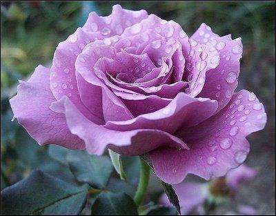 Image Result For Rosa De Color Lila Flor