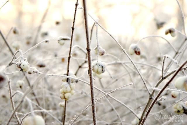 talvi, lumipallomarjat