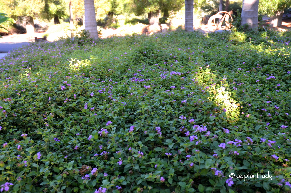 Purple blooms for the fall garden ramblings from a desert garden mightylinksfo