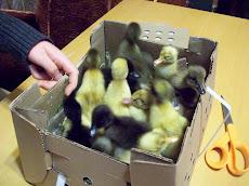 Baby Ducks 2011