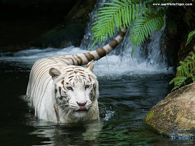 White tiger Waterfall Wallpaper