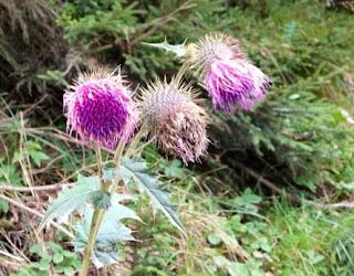 Ayder Yaylasından bir çiçek (1.300m rakım)