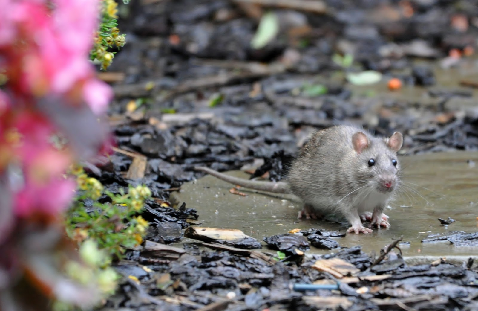 What Attracts Rats To Gardens Garden Ftempo