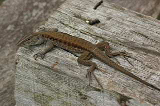 7 Whiptail Lizards 10 of the Weirdest Animal Instincts and Behaviors