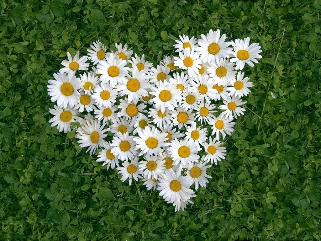 http://3.bp.blogspot.com/-U3_ZN-P0ZJg/Uno1zP2kR-I/AAAAAAAAVMs/4QXBV0kFYXs/s1600/Heart-shaped-white-daisy-of-love_1024x768.jpg