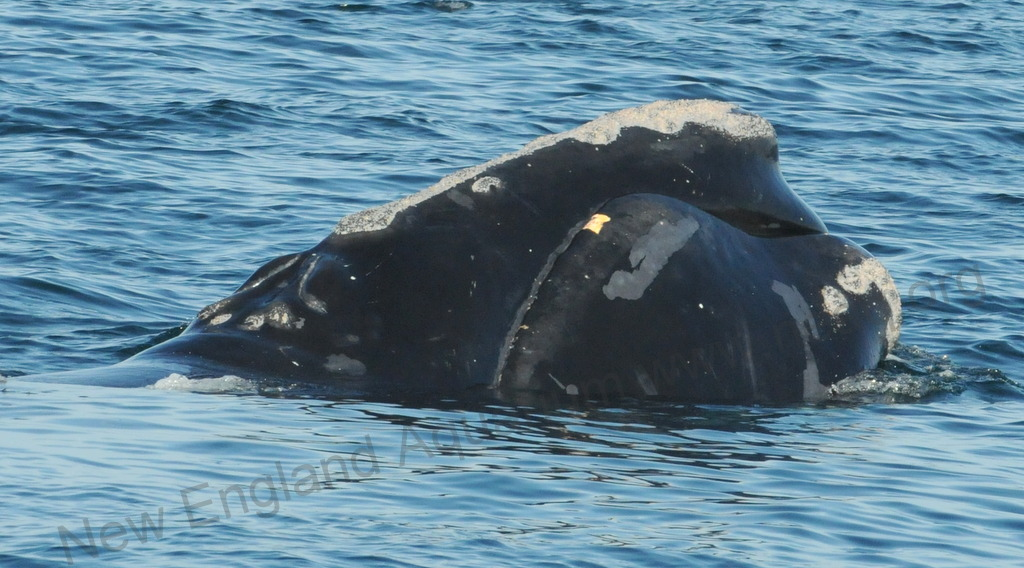 cashes ledge map right whale research blog