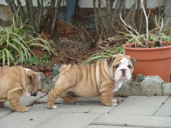Mini Blue English Bulldog Puppies For Sale Images & Pictures - Becuo