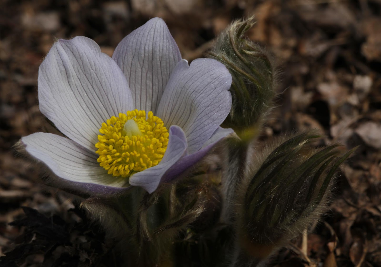 All of Nature Pasque Flowers Emerge First