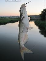 канальный сомик, ловля канальных сомят
